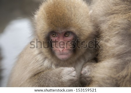 infant snow monkey looking up