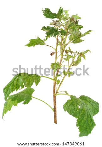 Infection of black currant by grey mould, Botrytis cinerea, Botryotinia fuckeliana - stock photo