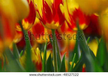 Inferior view of red-yellow tulips - stock photo