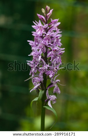 Inflorescence Dactylorhiza maculata, Heath Spotted Orchid macro, selective focus, shallow DOF - stock photo