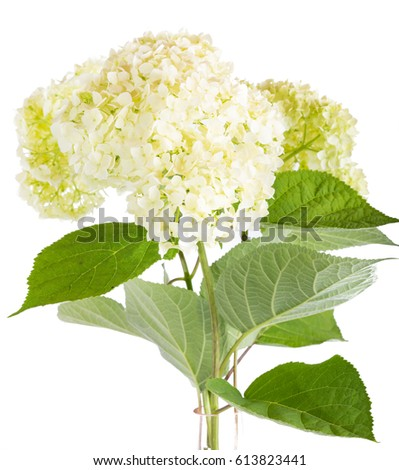 of a white hydrangea it is isolated on a white background - White Hydrangea