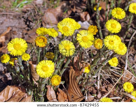 Inflorescence of the coltsfoot, Tussilago farfara, are part of the first flowers of the early spring - stock photo