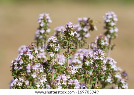 inflorescence of Thymus vulgaris - stock photo