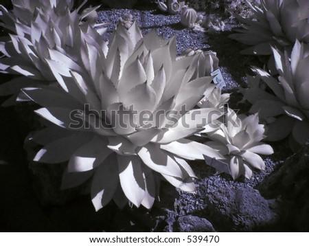 Infrared Cactus - stock photo