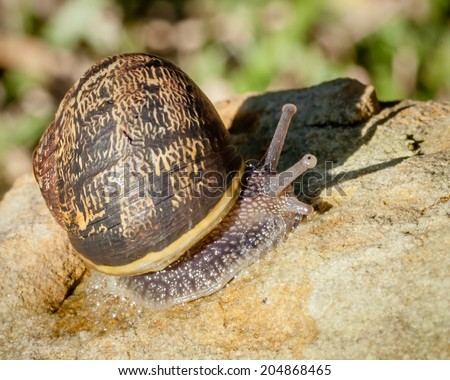 Injured Common Garden Snail (Helix aspersa or Cornu aspersum) crawling over a sandstone rock with a cracked striped shell and defensive froth of mucus coming out of the slime on the foot - stock photo