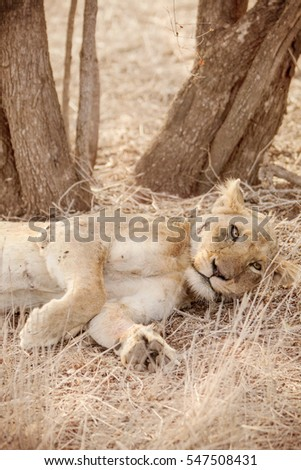 Injured Lioness lying under a tree in South Africa