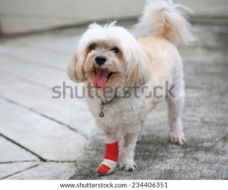 Injured Shih Tzu leg wrapped by red bandage standing - stock photo