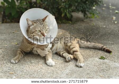 injured thai cat wearing Elizabethan collar. Thai cat with E-collar. - stock photo