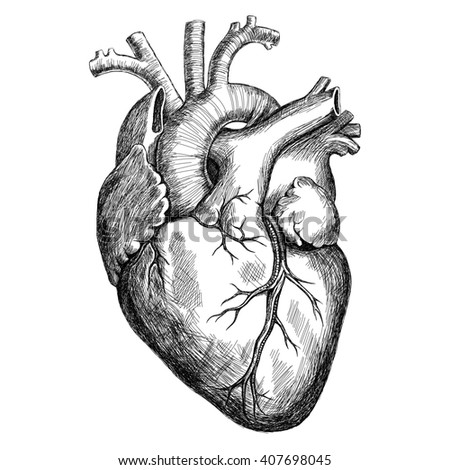 Ink Human Heart Illustration 407698045 moreover Lchb3 6a in addition Digestion further Personal Training Cloverdale moreover Digestive System. on stomach intestines