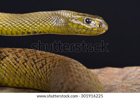 Inland Taipan (Oxyuranus microlepidotus) worlds most venomous snake species. - stock photo