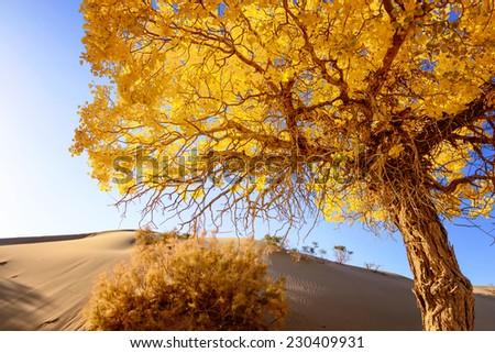 Inner Mongolia, China EJINAQI of Populus euphratica - stock photo