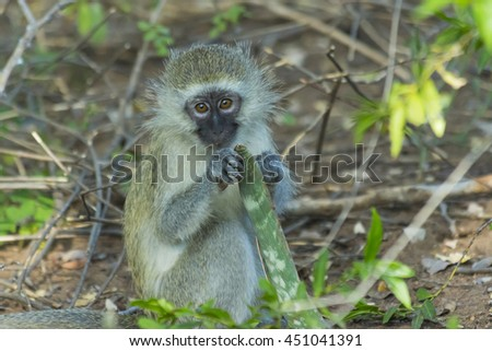Innocent baby vervet monkey eating a plant in the bush