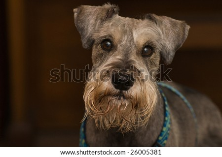 Innocent looking salt and pepper miniature schnauzer indoors in front of wood grain backdrop. - stock photo