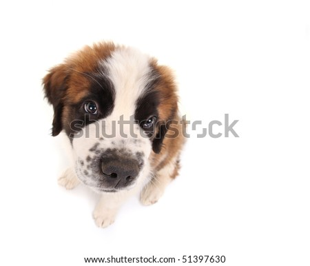 Innocent Saint Bernard Puppy Looking Sweet and Innocent on White Background - stock photo