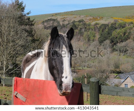 Inquisitive Black and White Horse (Equus ferus caballus) in a Field within Dartmoor National Park, Devon, England, UK - stock photo