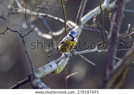 Inquisitive european blue tit perched on a branch in Northumberland woodland - stock photo
