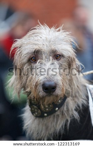 Inquisitive grey wolfhound looking directly at the camera wearing a heavy ornate collar and jacket for participation in a show or competition - stock photo