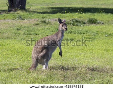 Inquisitive  Western grey kangaroo (Macropus fuliginosus) black-faced, or sooty kangaroo standing in a  paddock of green  grass near Australind, Western Australia on a sunny autumn morning  . - stock photo