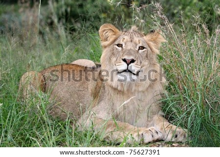 Inquisitive Young wild lion crouching in long grass