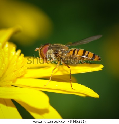 insect bee fly on yellow flower
