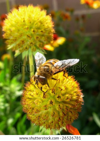 insect  bee sits on an autumn flower,  sunny day