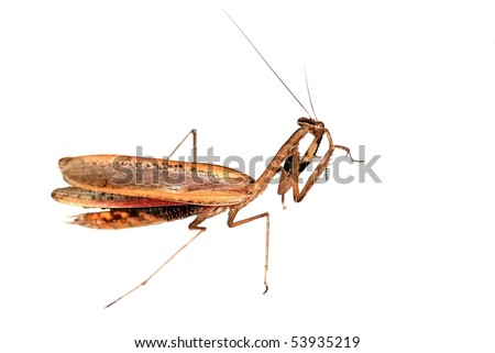 insect brown mantis bug isolated in white - stock photo
