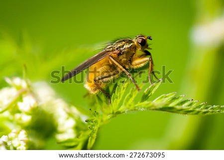 Insect: Diptera (yellow Dung Fly)
