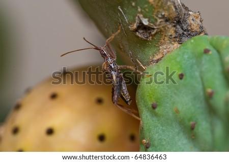 Insect Feeding on Prickly Pear Cactus, Tucson, Arizona - stock photo