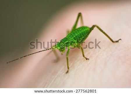 Insect green grasshopper close-up, isolated over background - stock photo