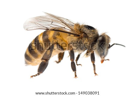 insect honey bee isolated on white - stock photo