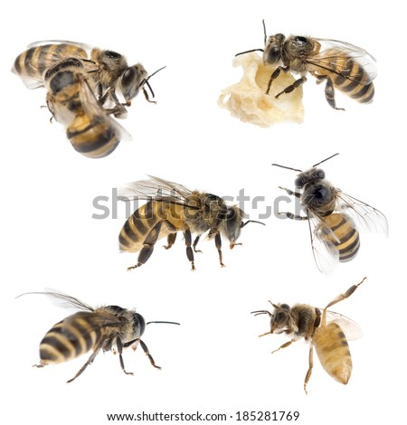 insect honey bee set, isolated on white. - stock photo