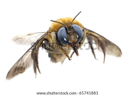insect humble bee isolated on white background - stock photo