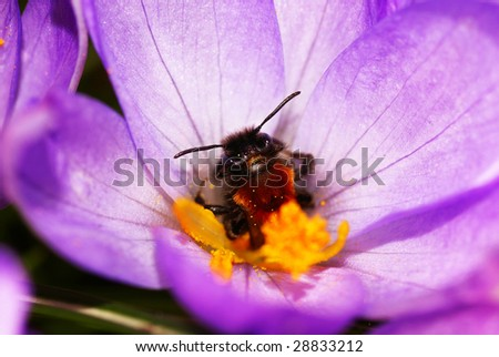 Insect in the heart of a crocus, looking at the camera. - stock photo