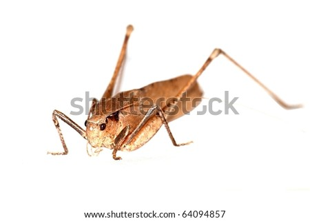 insect katydid isolated in white background, in China. - stock photo