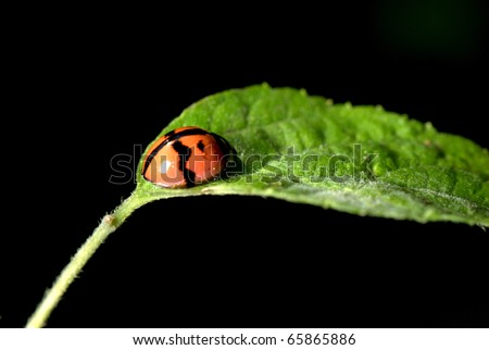 insect ladybird on green leaf