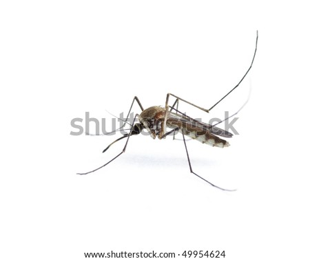 Insect Mosquito - stock photo