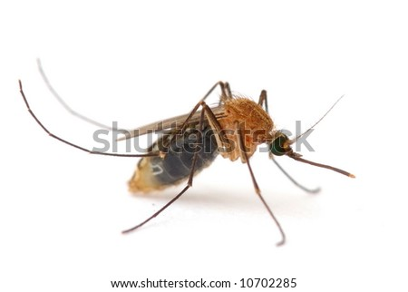 Insect Mosquito - Host of disease, on white . - stock photo