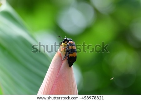 Insect on Banana Flower - stock photo
