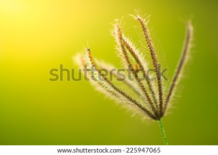 Insect on Grass flower on green background,naturally refreshing - stock photo