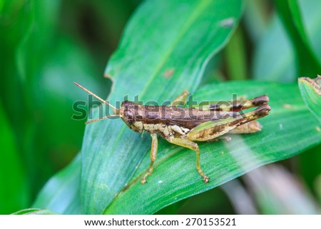 insect on leaf, Grasshopper perching on a leaf - stock photo