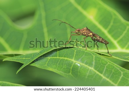 Insect on the papaya leaf - stock photo