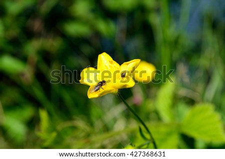 insect on yellow buttercup flower in summer sunlight - stock photo