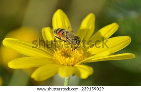 Insect on Yellow Flower, Bee on Flower, Yellow, Green, Natural, Flower - stock photo