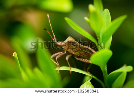 Insect Pentatoma rufipes standing on grass - stock photo