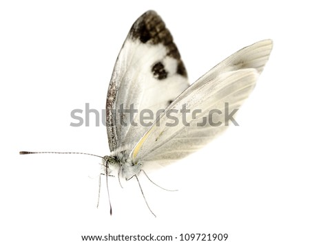 insect small white butterfly isolated - stock photo