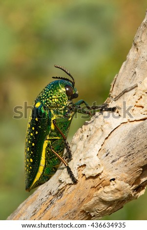 Insect Sternocera sternicornis.green and yellow shiny insect siting on the branch. bright insect from Sri Lanka. Glossy and lustrous insect in the nature habitat. Beautiful big beetle from India. - stock photo
