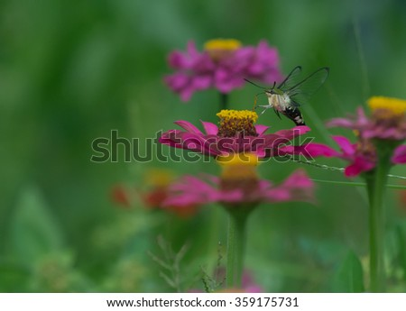 Insect sucking nectar from a zinnia.