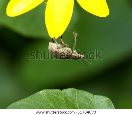 Insect - weevil hanging down on yellow flower - stock photo