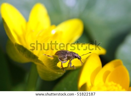 Insect - weevil sitting on yellow flower - stock photo