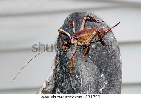 Insect - Weta on log
